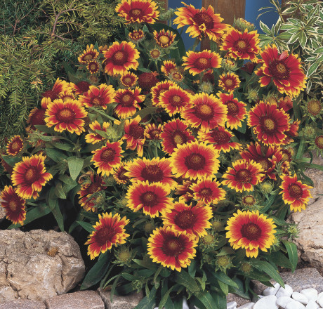 Gaillardia 'Arizona Sun' is a large annual plant with large flowers — and it will need a large container to show off in. (Courtesy of All-American Selections)